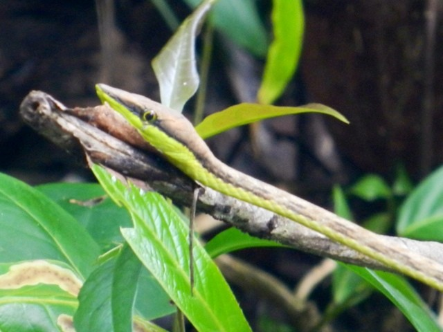 Snake in Cahuita, Costa Rica