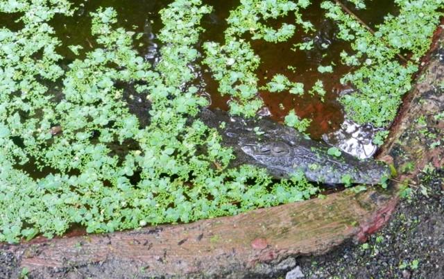 Wanderlust Chloe Crocodile Costa Rica