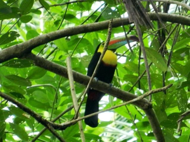 Wanderlust Chloe Toucan Costa Rica