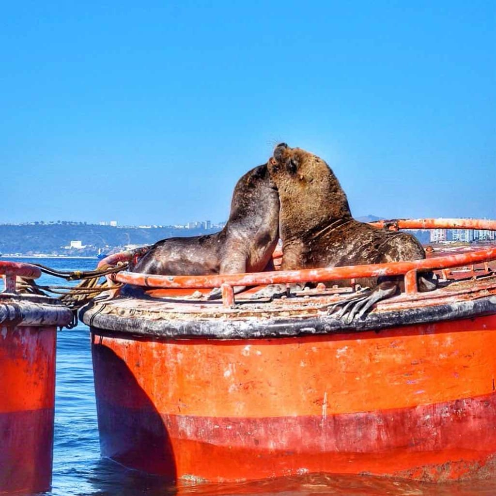 Sea lions in Valparaiso, Chile