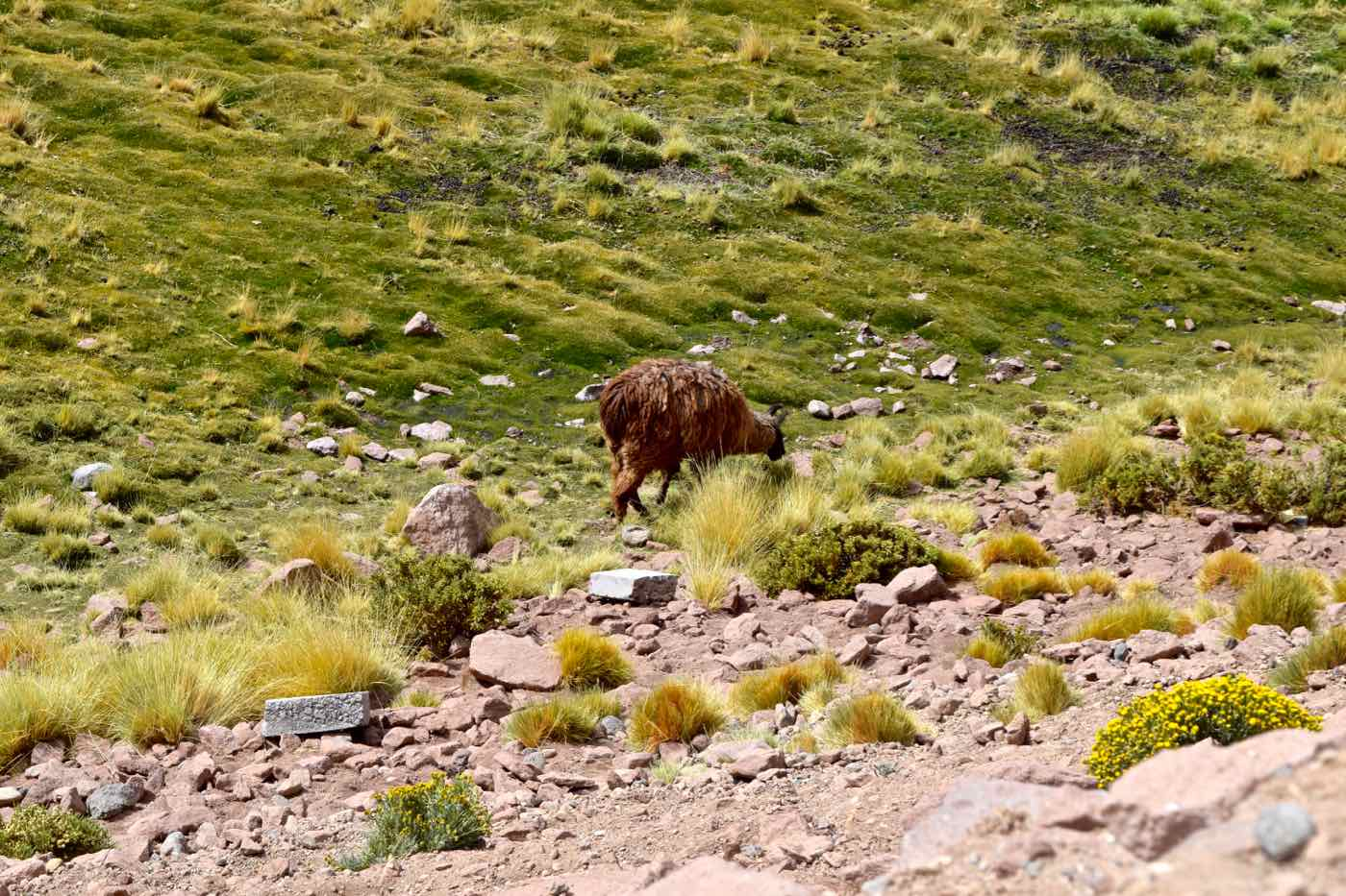 Wildlife on way back from El Tatio Geysers, Chile