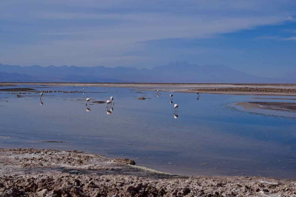 Flamingos in Chaxa Lagoon, Chile