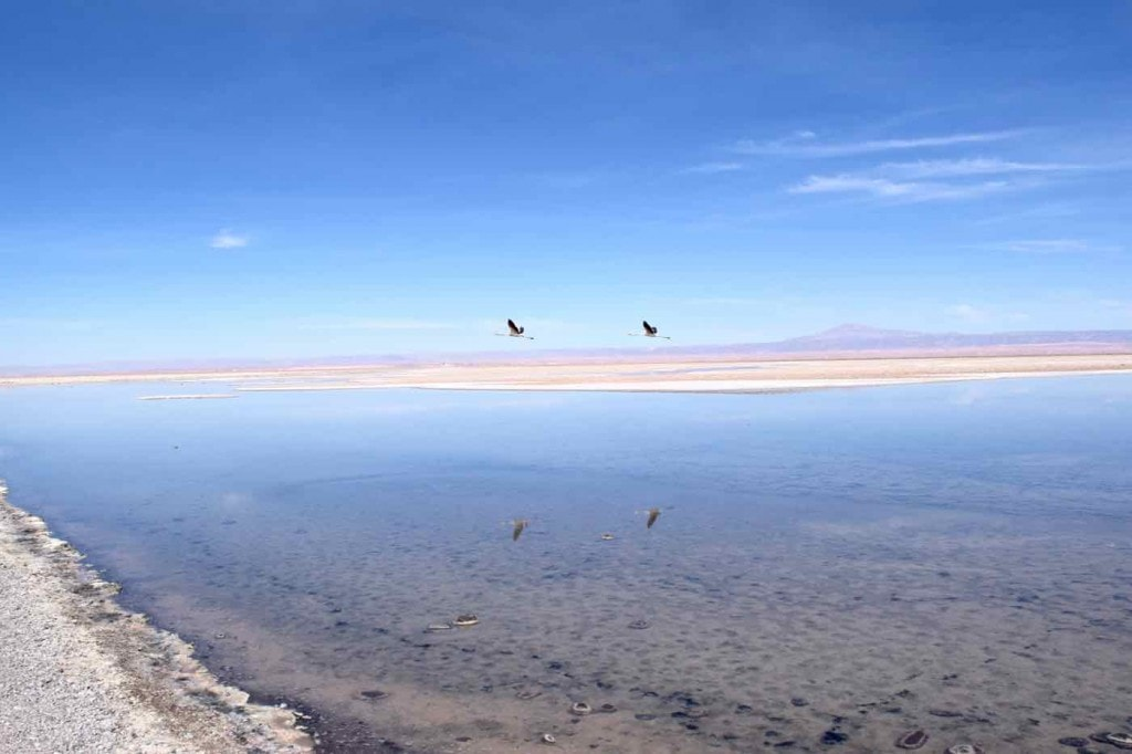 Flamingos flying over Chaxa Lagoon, Chile