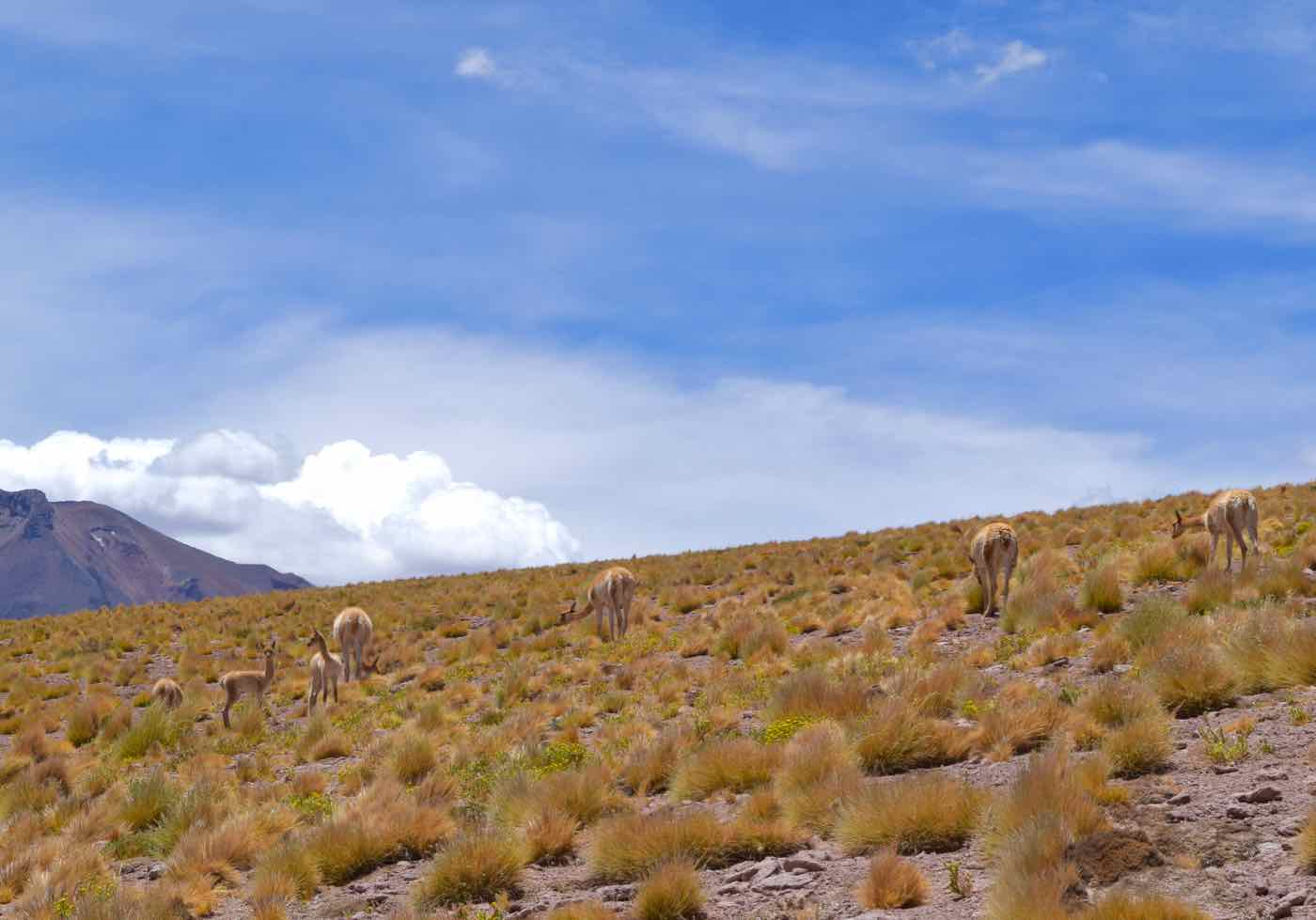 Vicunas grazing in the Atacama Highlands, Chile