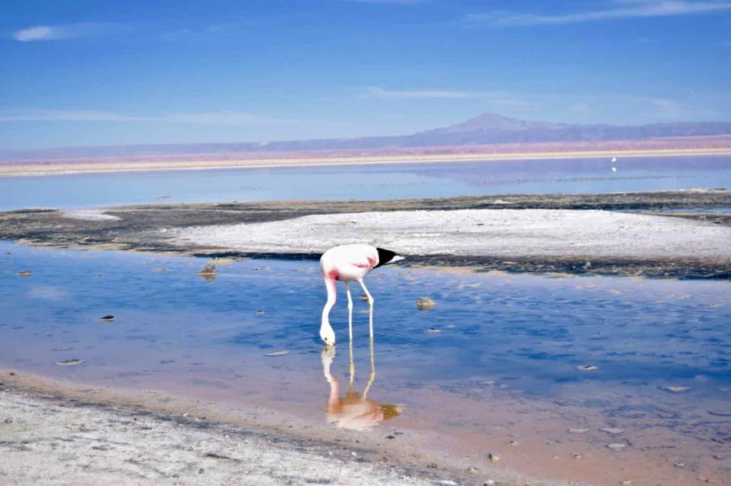 Flamingo at Chaxa Lagoon, Chile
