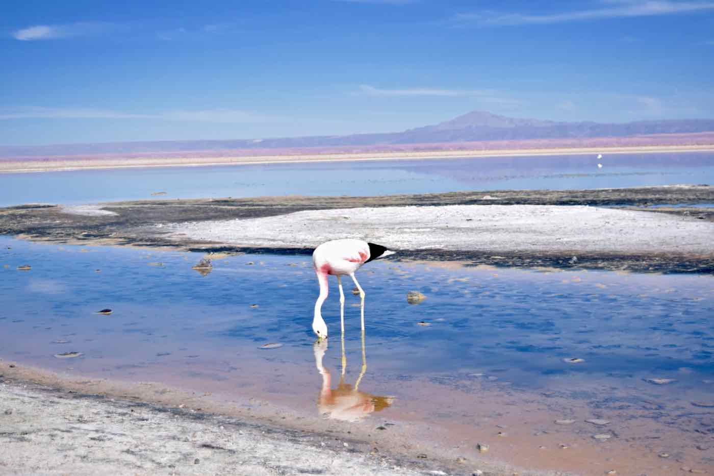 Flamingo at Chaxa Lagoon, Chile