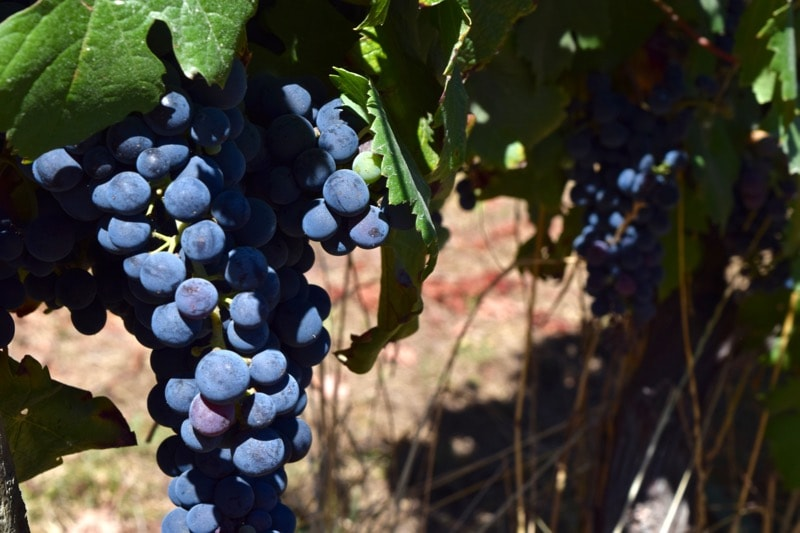 Grapes in the vineyards at Vina Montes, Colchagua Valley, Chile