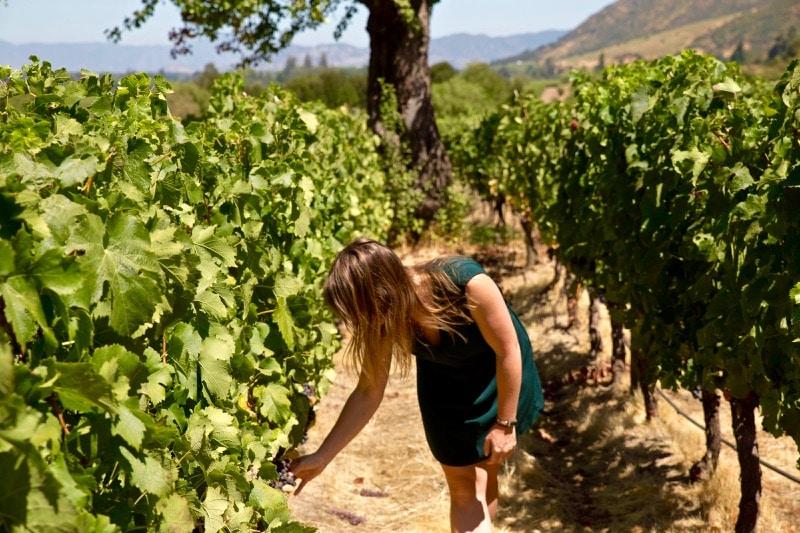 Picking grapes at Lapostolle