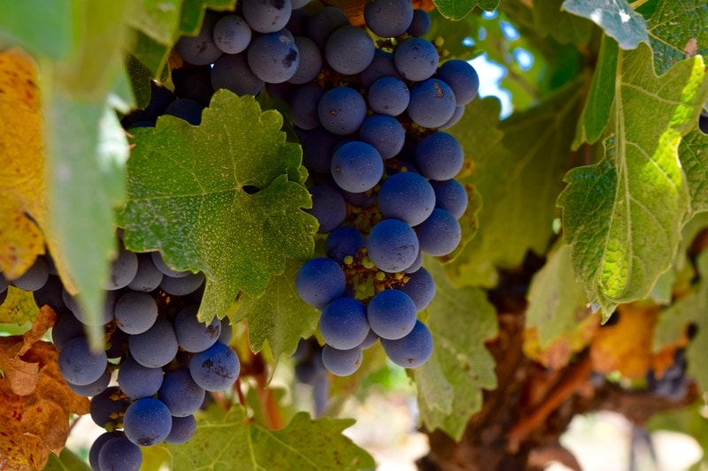 Grapes on the vines at Lapostolle, Colchagua Valley, Chile