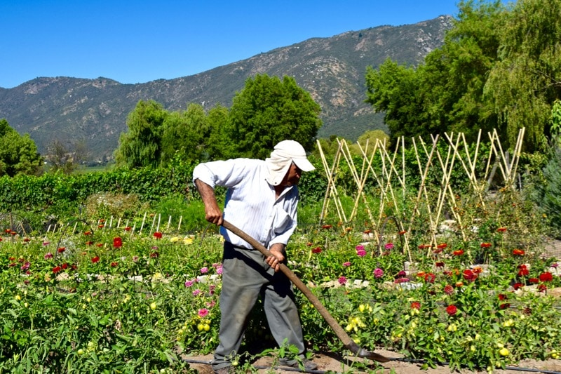 Gardener at Lapostolle Colchagua Valley, Chile