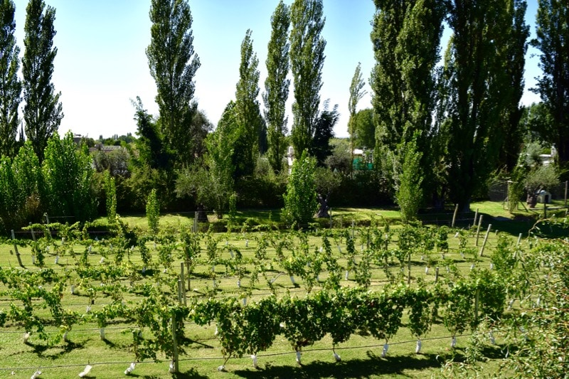 Rows of vines in the gardens at Villa Mansa Hotel