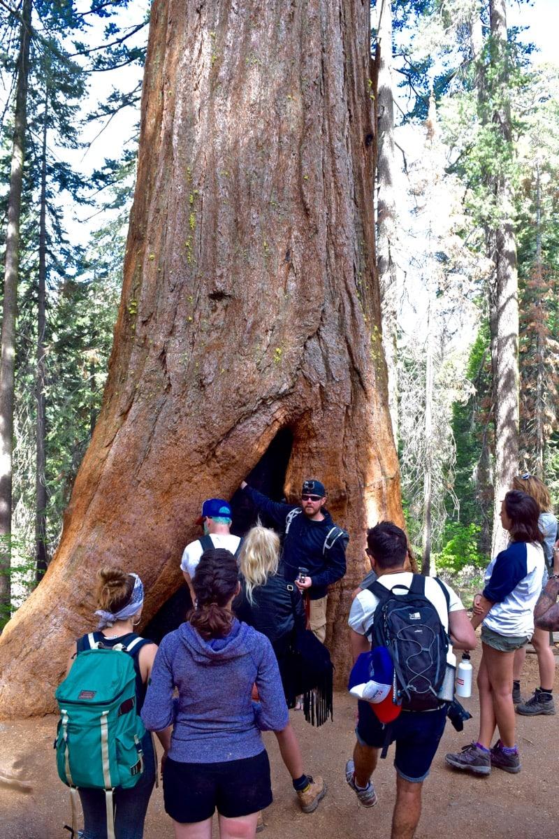 Look how big the sequoia is in Tuolumne Grove, Yosemite!