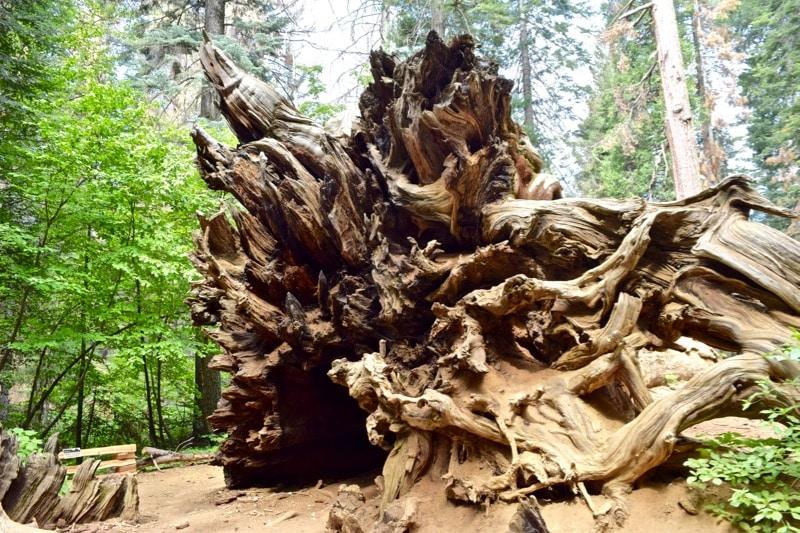 Look how big the sequoia roots are in Tuolumne Grove, Yosemite!