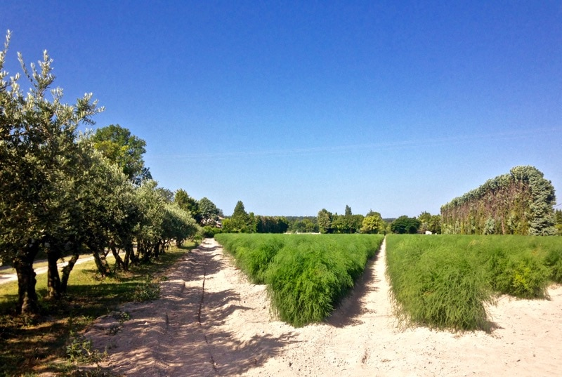 Asparagus fields in Provence