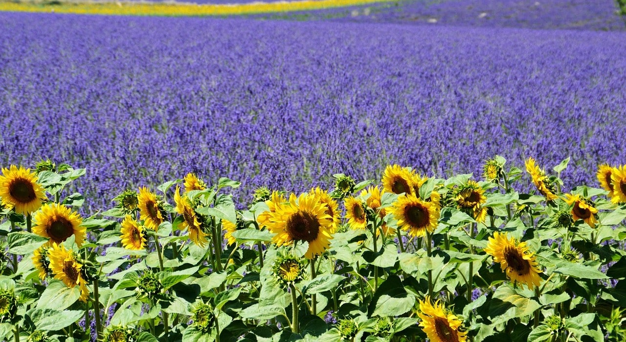 Sunflowers and lavender in Provence