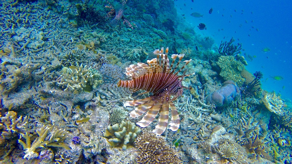 Snorkelling with lion fish in Raja Ampat, Indonesia