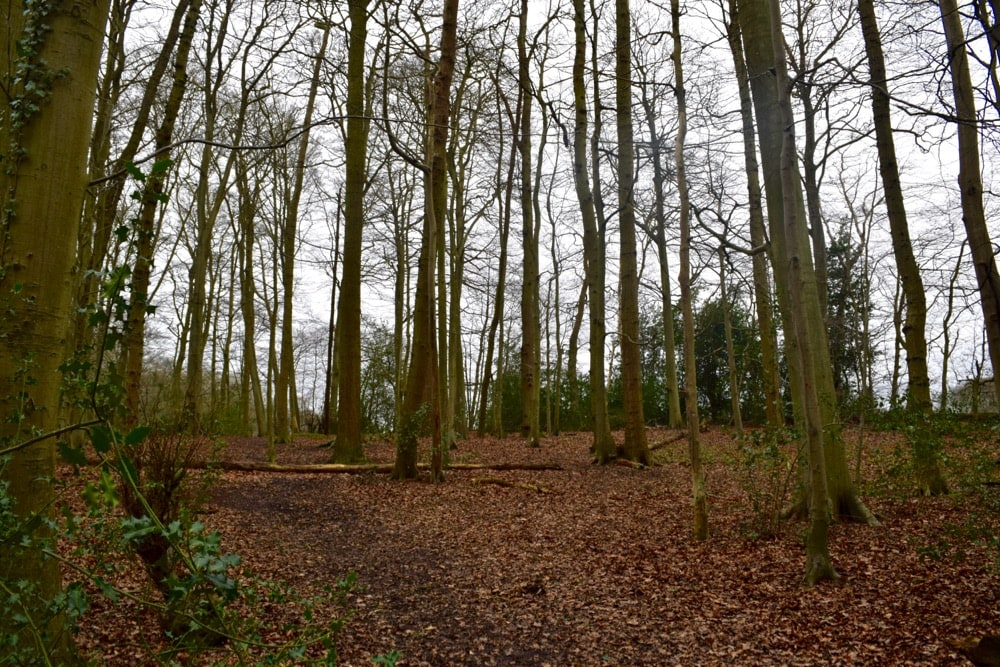 Beautiful beech woods in the Chilterns