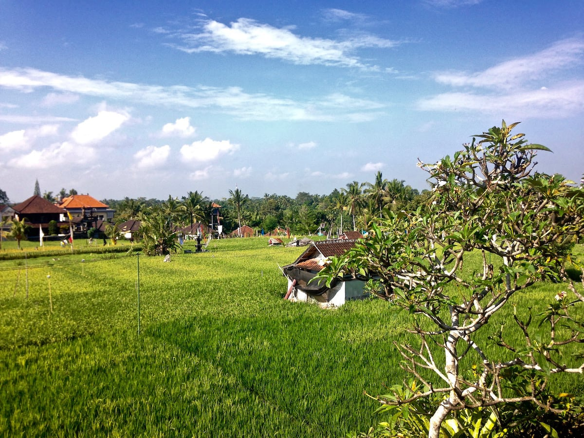 Views of the rice fields from our accommodation