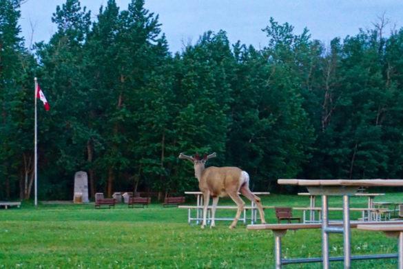 An elk in Elk Island National Park, Canada
