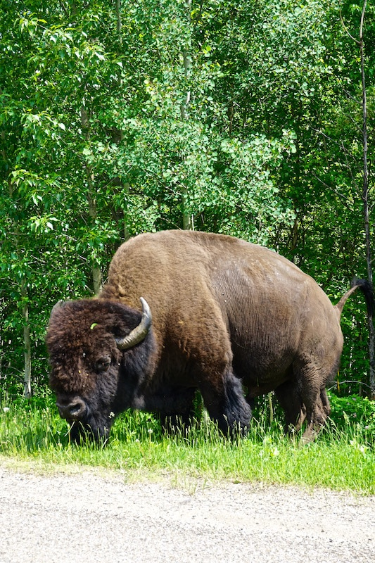 Bison in Elk Island National Park, Canada