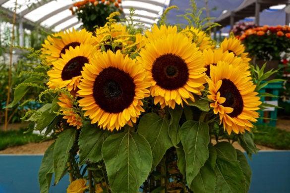 Beautiful sunflowers at IGA Berlin 2017