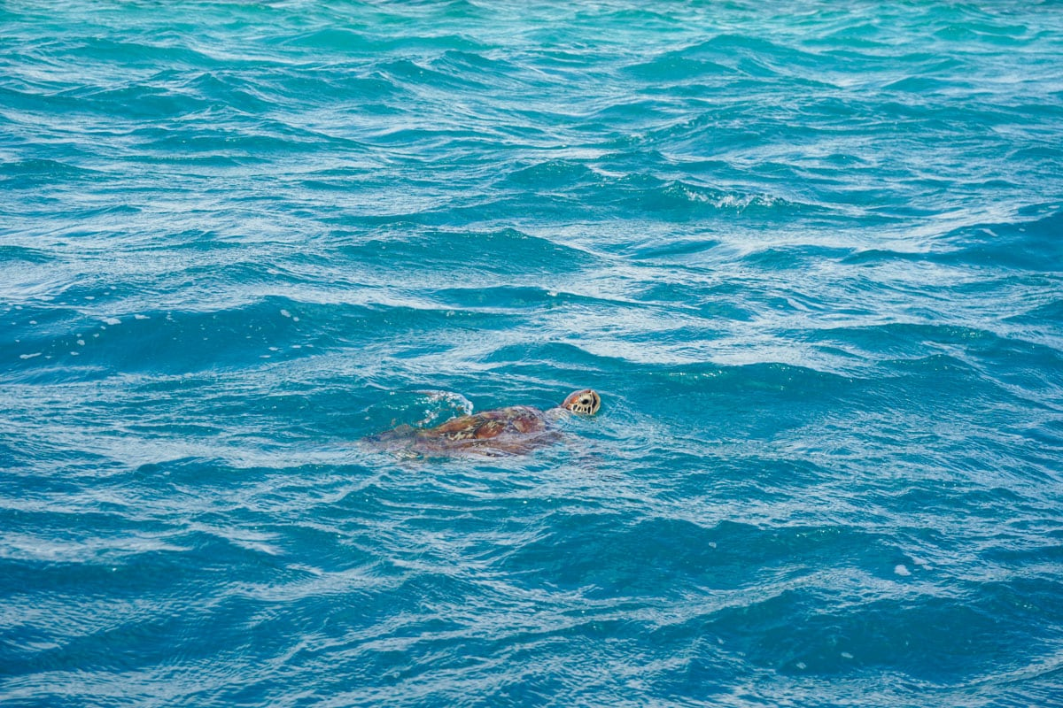 Turtle spotting from our glass bottom boat tour at Heritage Le Telfair, Mauritius
