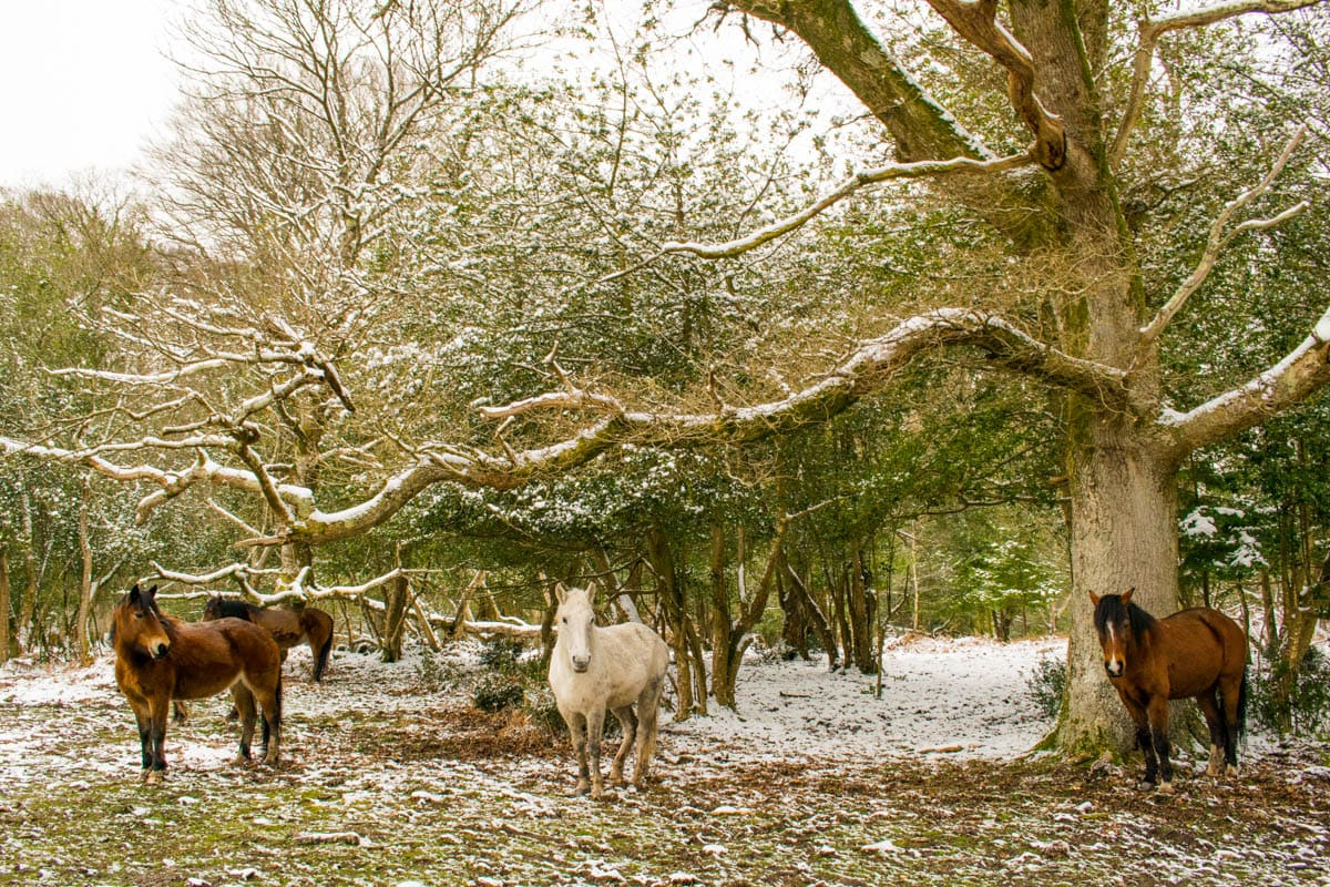 Wild ponies in the snow in the New Forest