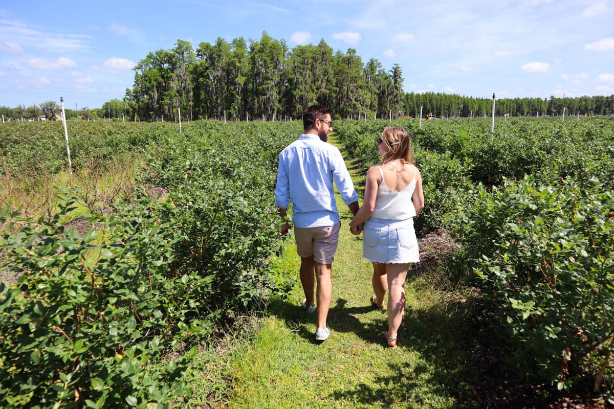 Starkey Blueberry Farm, Pasco County, Florida