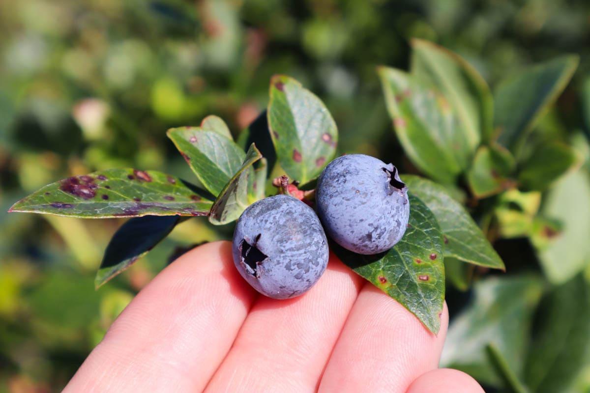 Starkey Blueberry Farm, Pasco County, Florida