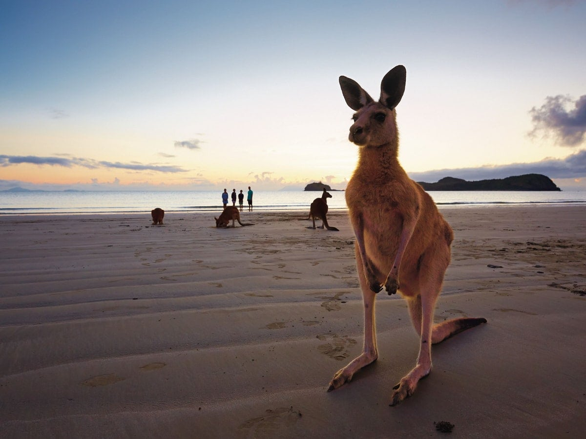 Kangaroos And Wallabies On The Beach, Cape Hillsborough (Photo: Queensland.com)