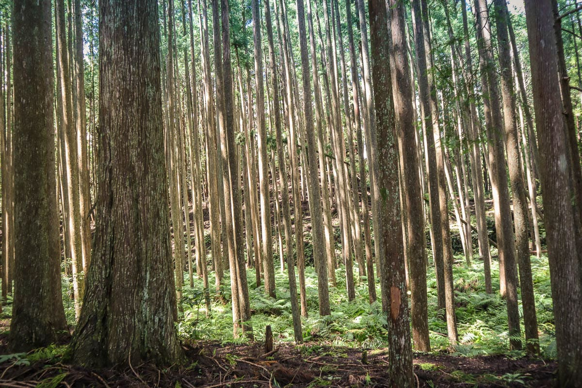 Beautiful forests make this a top pick for my Wakayama travel guide
