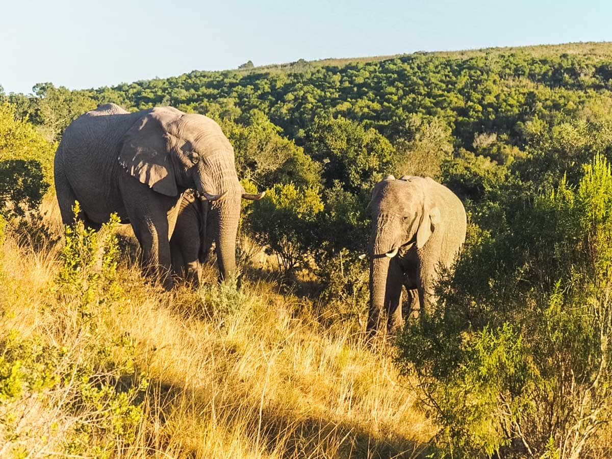 Elephants at Amakhala Game Reserve, South Africa
