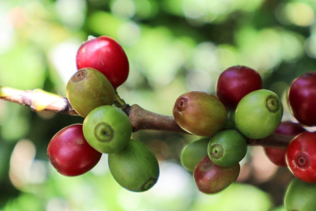 Espiritu Santo Coffee Tour, Naranjo