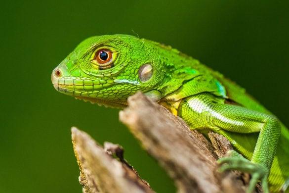 Lizard at Lapa Rios, Costa Rica (Photo: Lapa Rios)