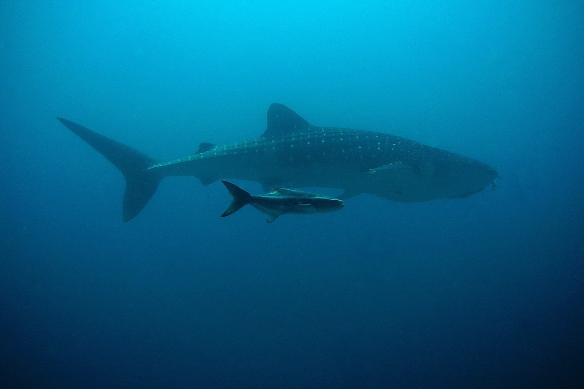 Whale shark - diving in Koh Tao, Thailand