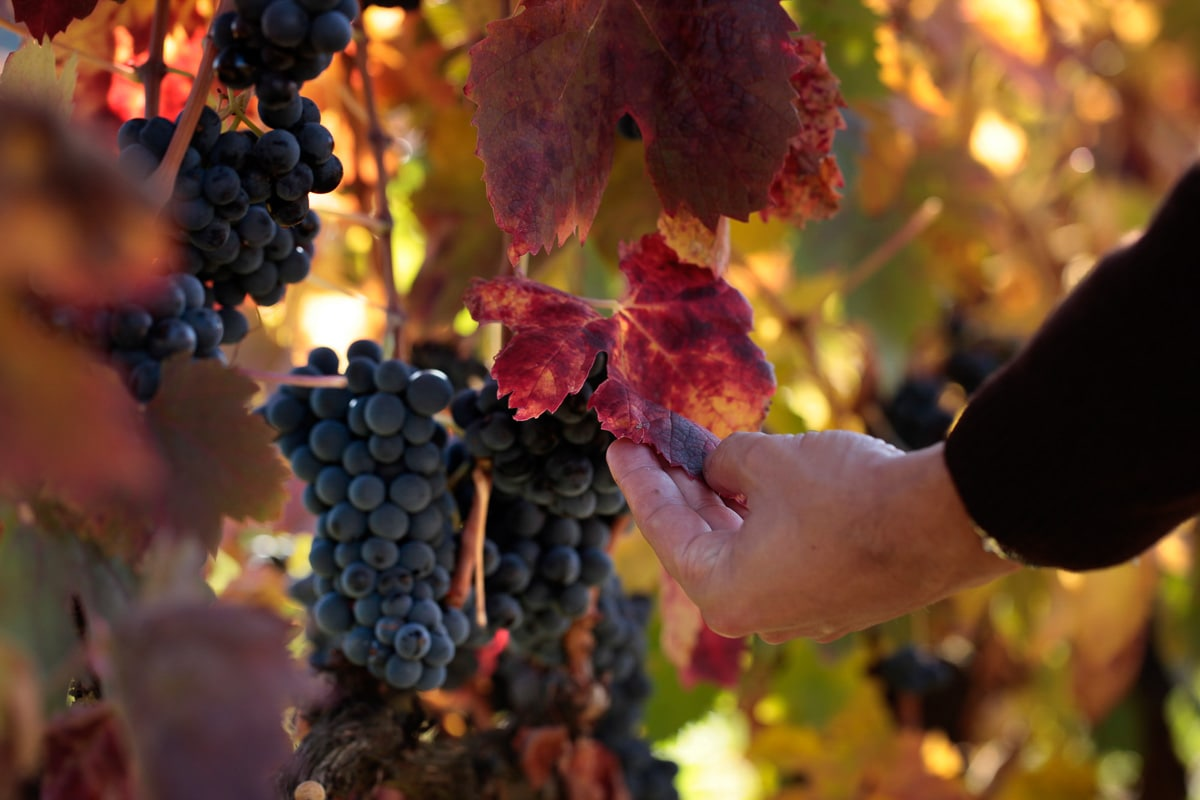 Harvest time in La Rioja, Spain