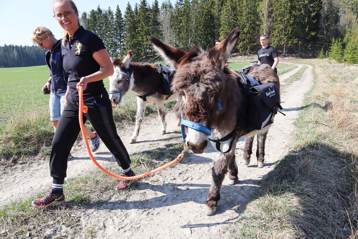 Donkey trekking in Sörmland, Sweden