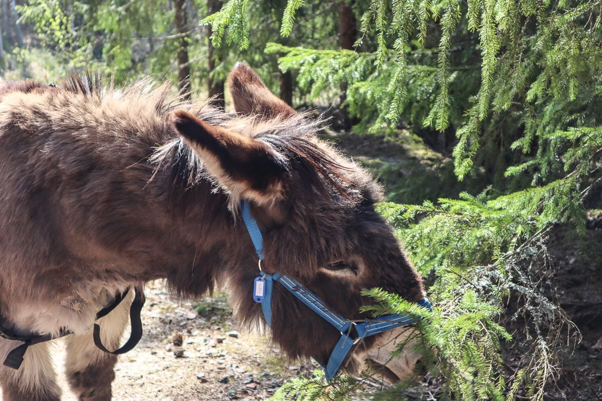 Donkey trekking through Sörmland's forests, Sweden