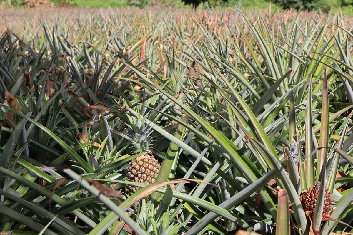 Pineapple fields in Dominica