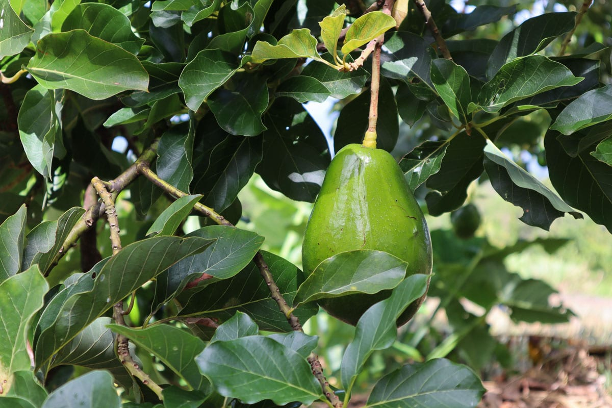Avocado trees in Dominica