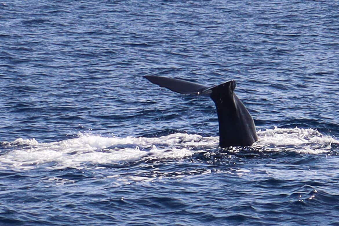 Whale watching, Dominica