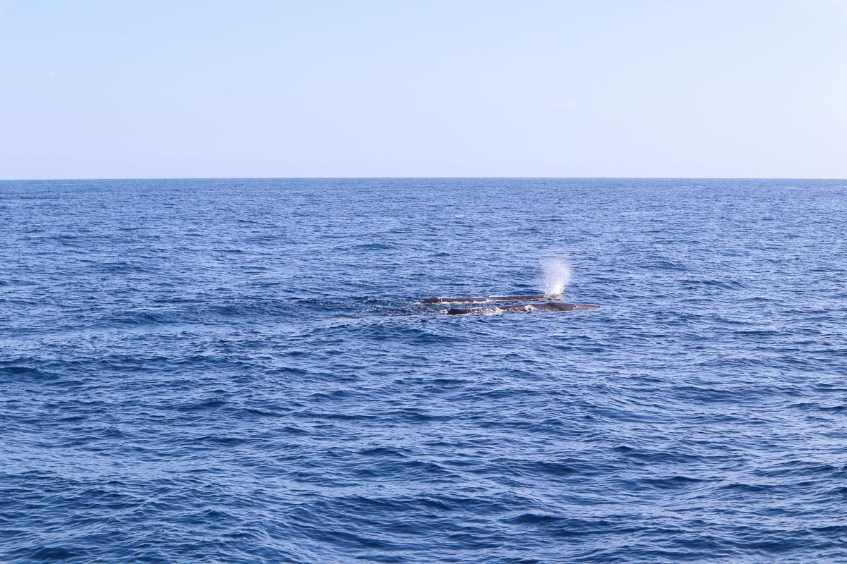 First sighting of sperm whales