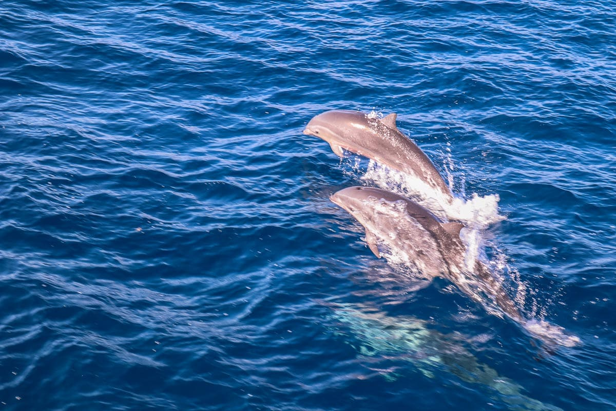 Dolphins in Dominica, Caribbean