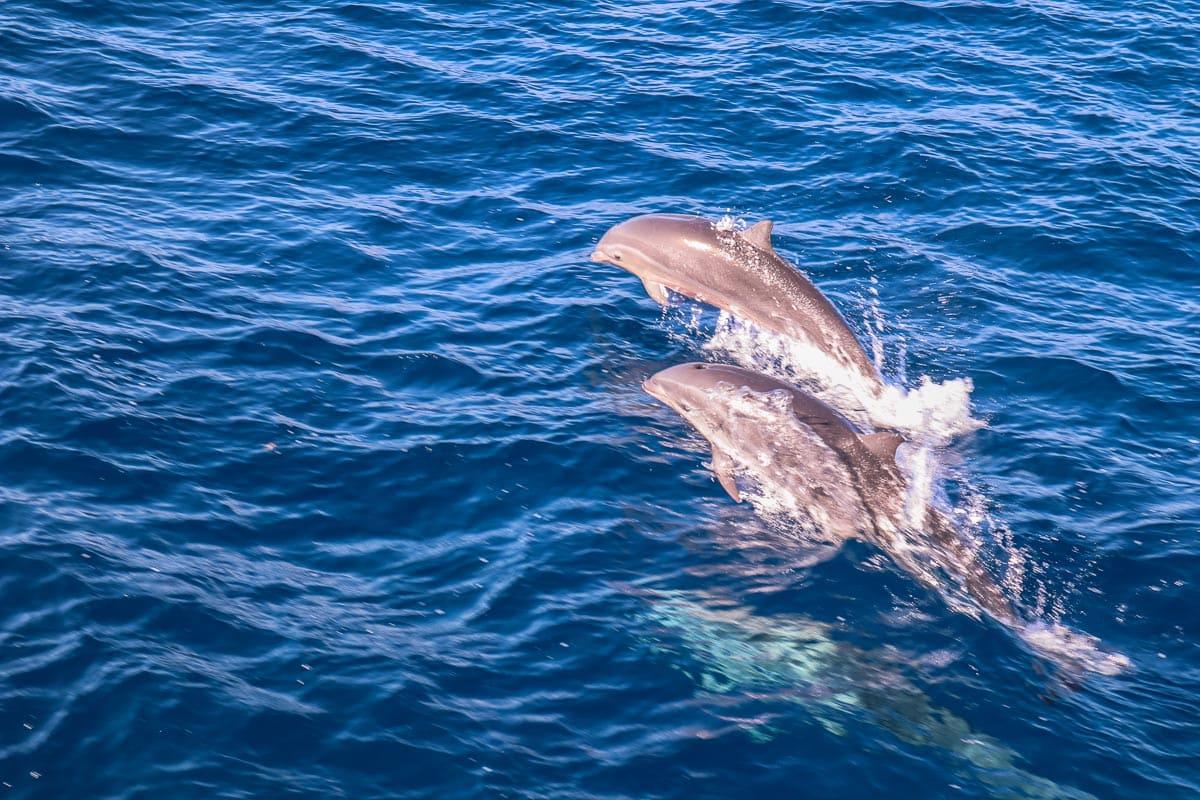 Dauphins à la Dominique, Caraïbes