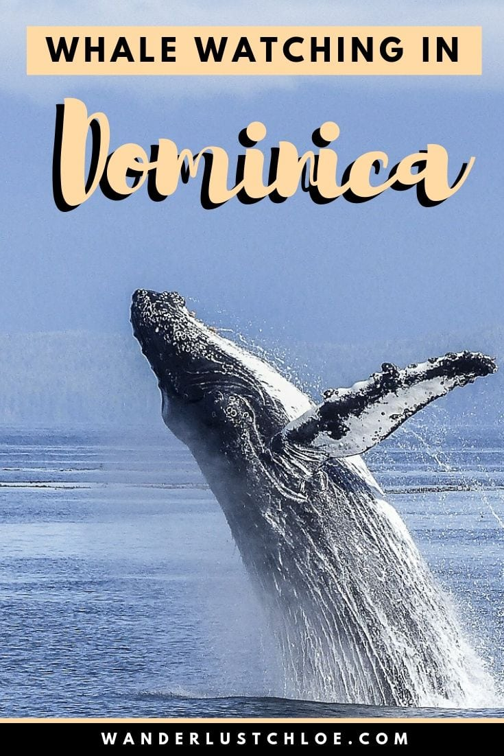 Whale Watching In Dominica, Caribbean