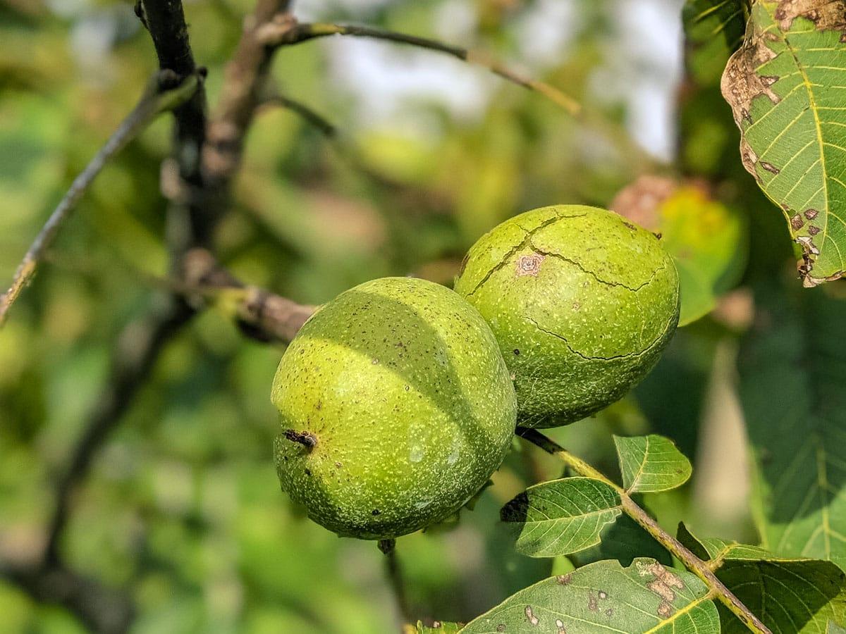 Bleggio walnuts