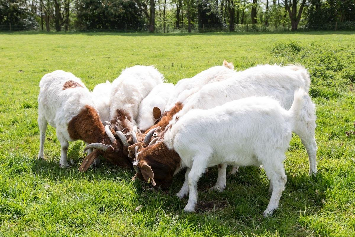 Goats at Fielding Cottage, Norfolk