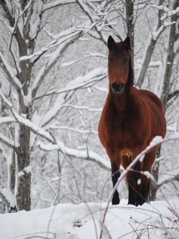 Horses in Vermont in winter