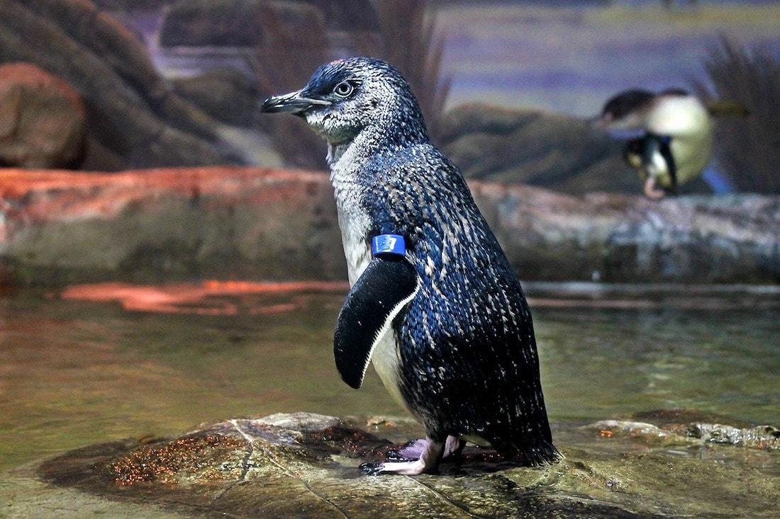 Penguin at Adventure Aquarium, New Jersey