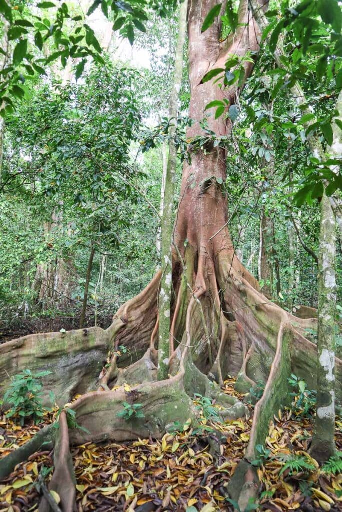 Incredible trees in Corcovado National Park